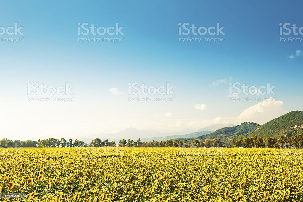 Sunflower fields in Lucca, Italy stock photo