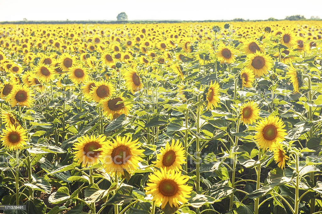 Sunflower fields in Lucca, Italy royalty-free stock photo
