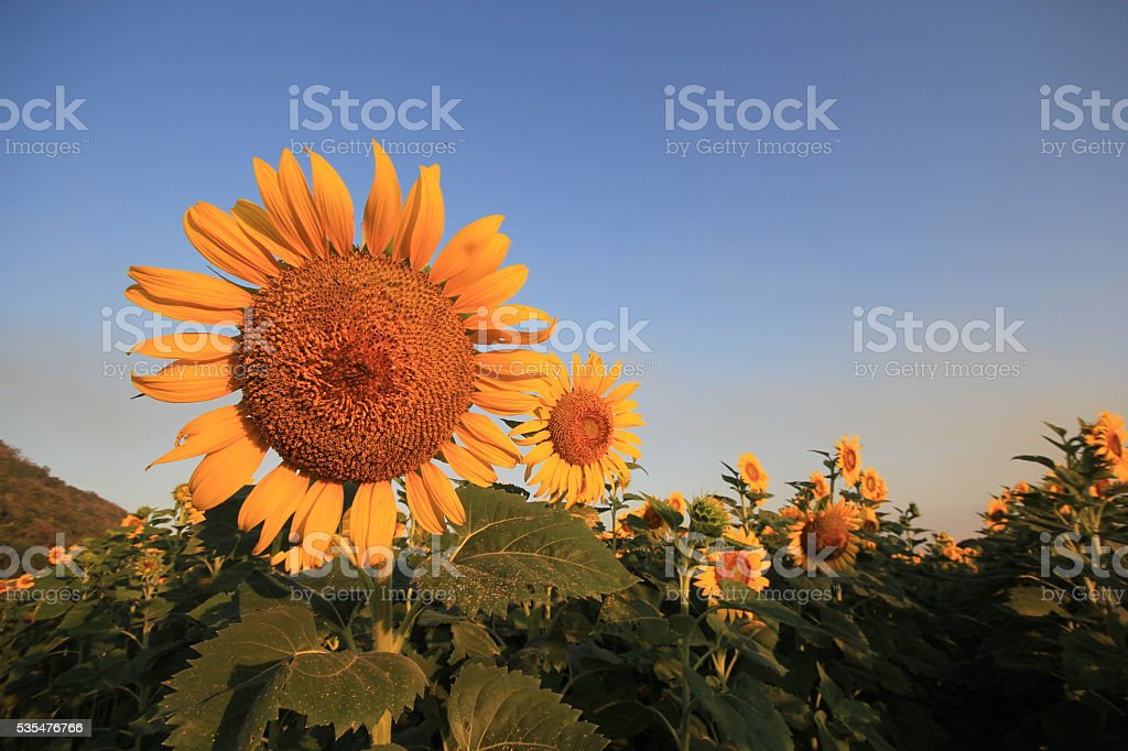 Sunflower fields in season stock photo