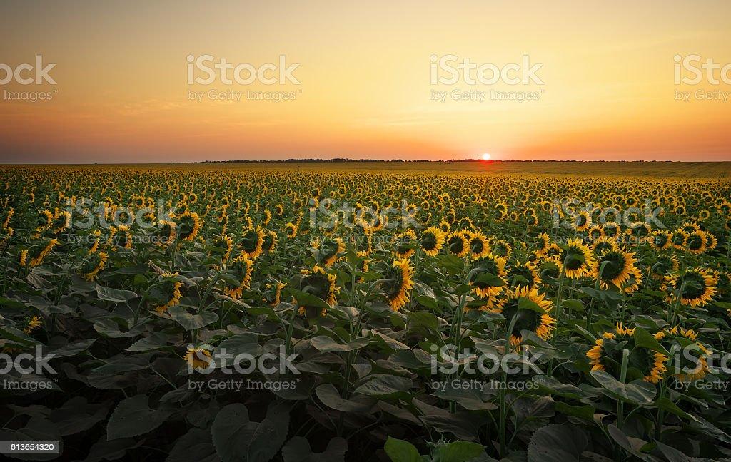 Sunflower fields in warm evening light. stock photo