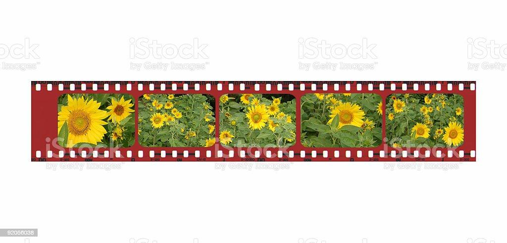 Sunflower Film Strip Border stock photo