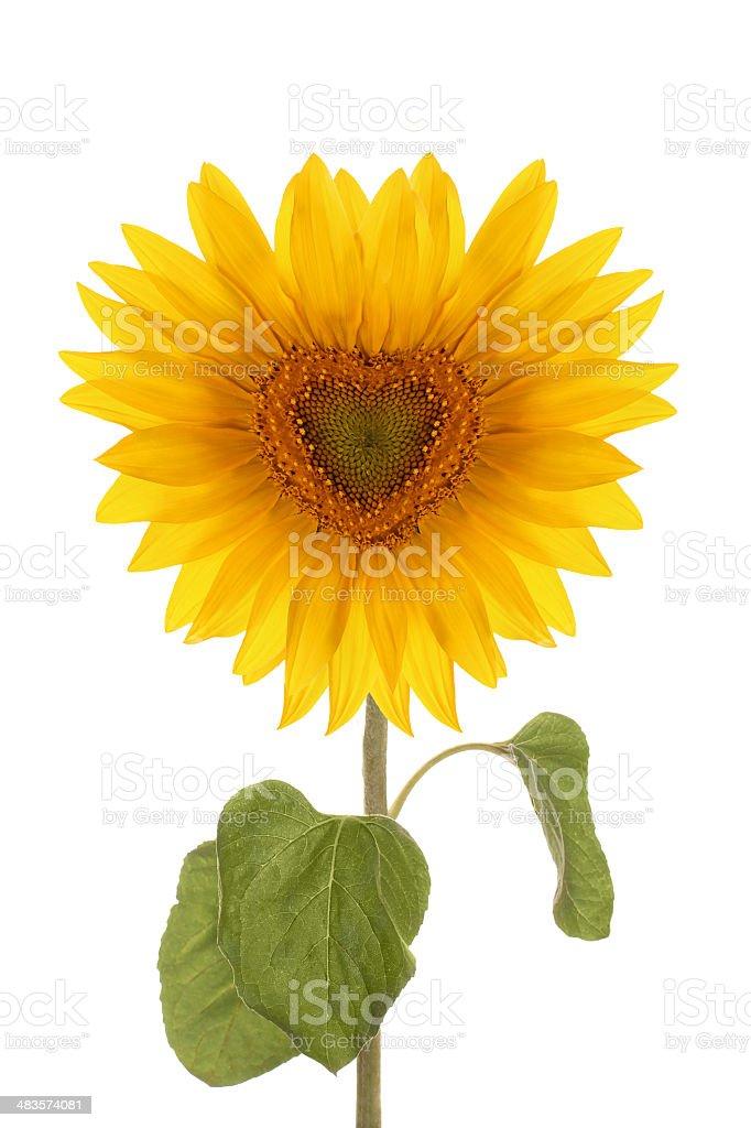 sunflower flower heart full length stock photo