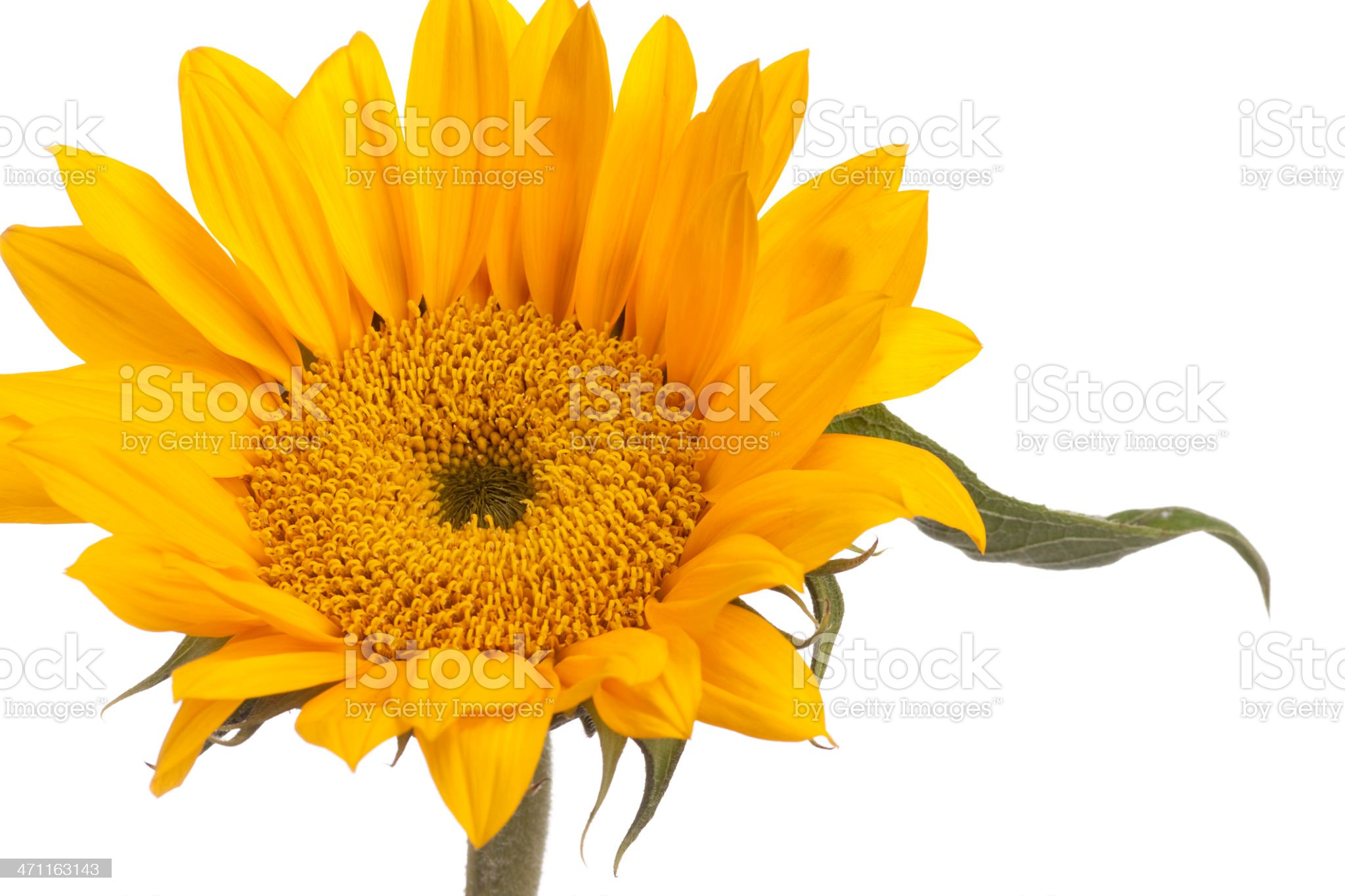 Sunflower, Flower, Isolated Object, Vivid Color, Spring, Close-Up royalty-free stock photo