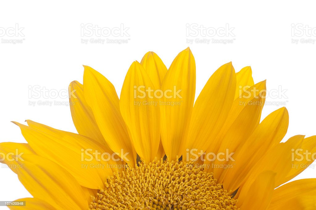 Sunflower, Flower, Top-Half, Copyspace, Isolated-on-White royalty-free stock photo