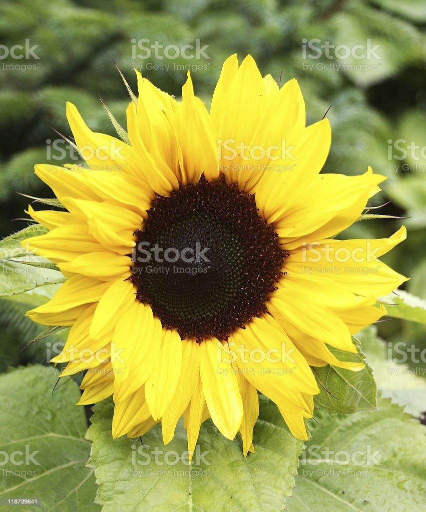 sunflower flowerbud stock photo