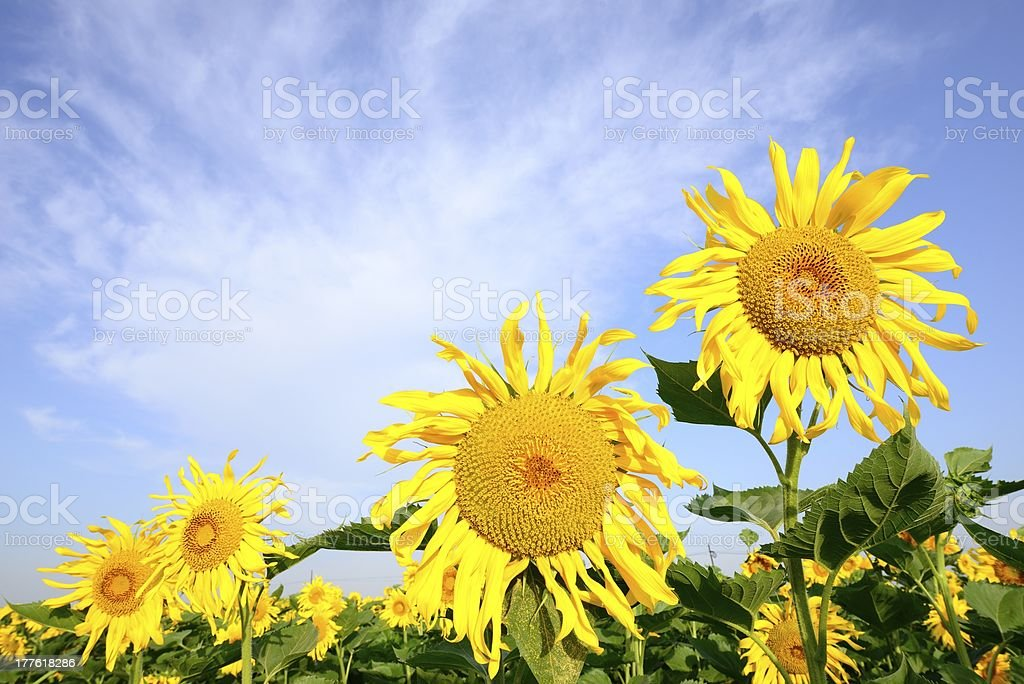 Sunflower growing in the field royalty-free stock photo