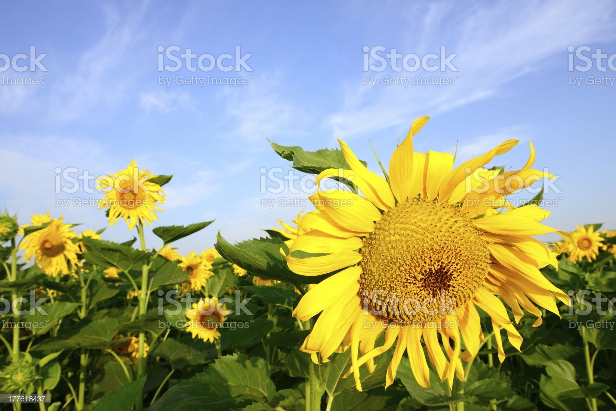 Sunflower growing in the fields royalty-free stock photo