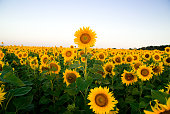 Sunflower grows in a field in Sunny weather.