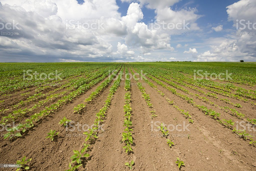 Sunflower growth on beautiful day in springtime stock photo