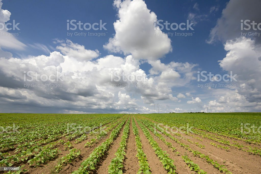 Sunflower growth on beautiful day with cumulonimbus clouds in sky stock photo