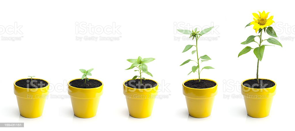 Sunflower Growth royalty-free stock photo