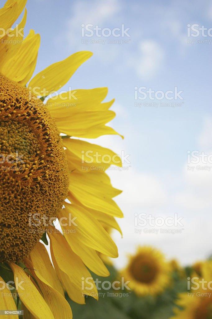 sunflower half royalty-free stock photo