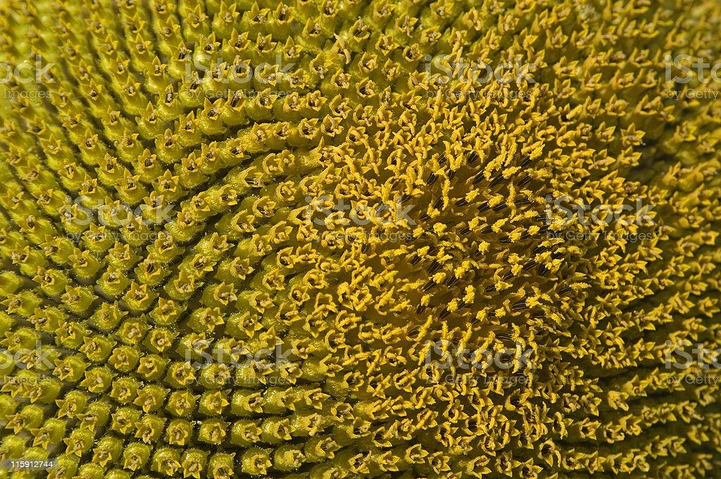 Sunflower head background royalty-free stock photo
