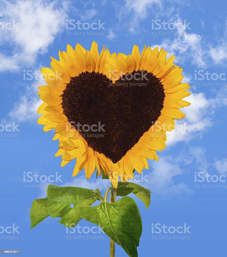 Sunflower head shows a heart-shape stock photo