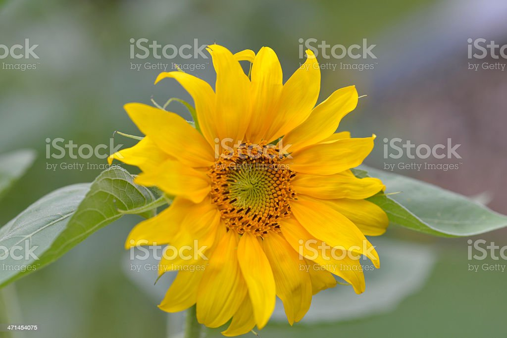 Sunflower Helianthus Annuus in Field royalty-free stock photo