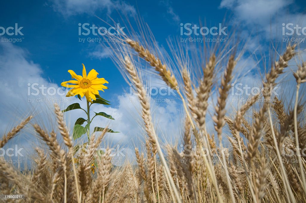 sunflower in a wheat field royalty-free stock photo