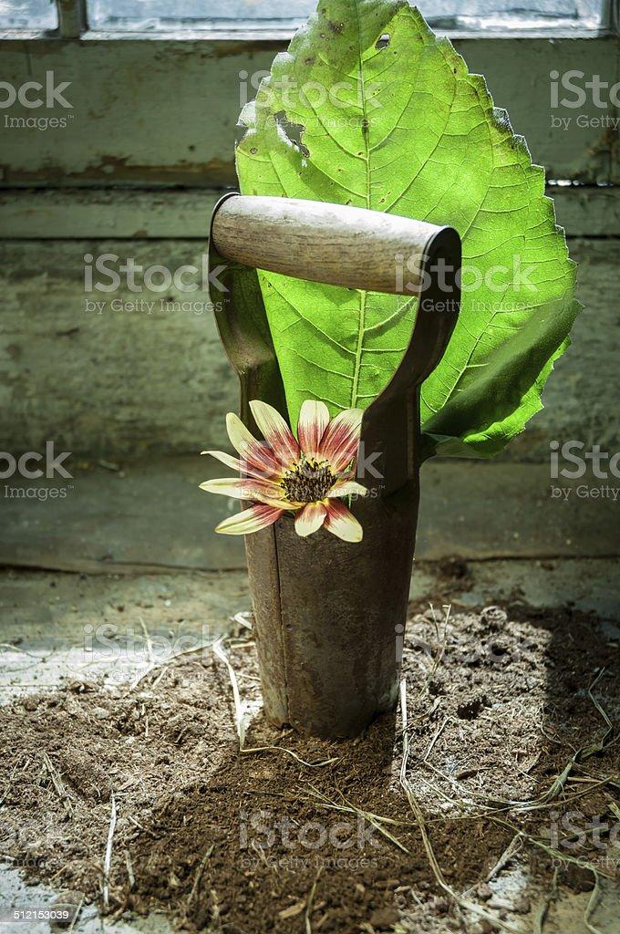 Sunflower in bulb planter stock photo