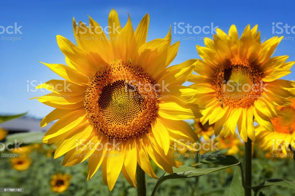 Sunflower in foreground, blue background. stock photo