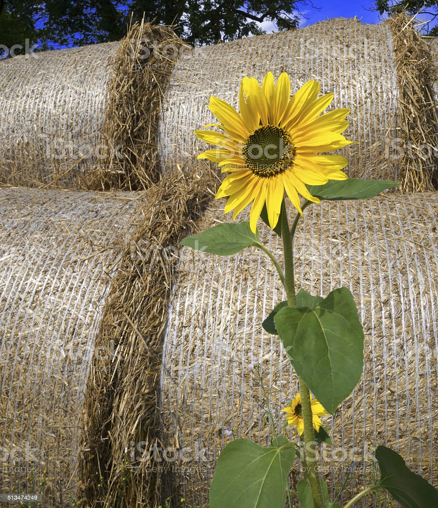 Sunflower in front of bales of straw royalty-free stock photo
