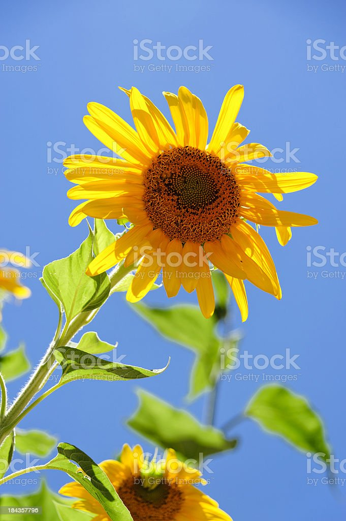 Sunflower in front of sun royalty-free stock photo