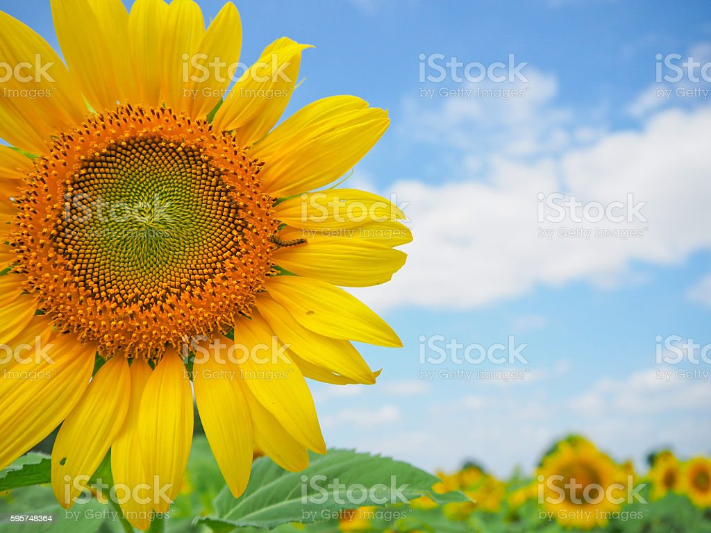 Sunflower in garden with sky background stock photo