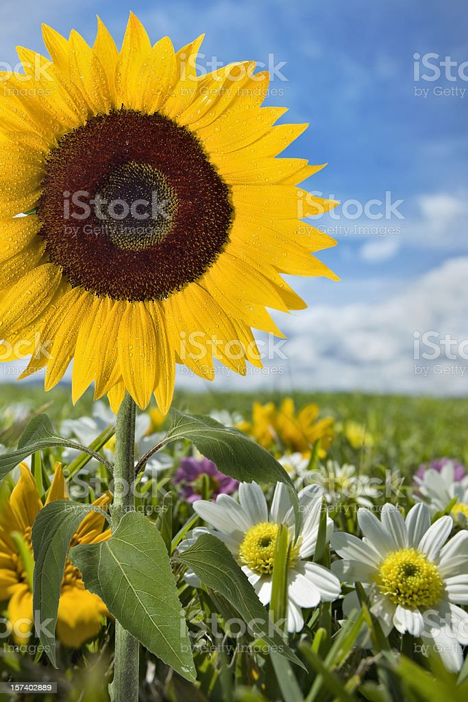 Sunflower in meadow royalty-free stock photo
