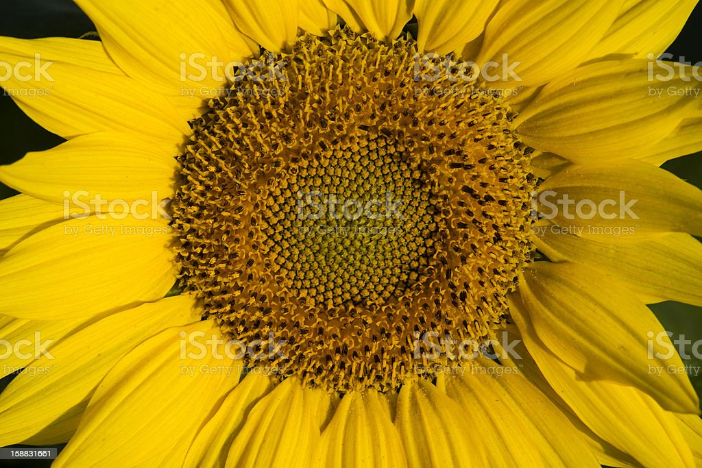 Sunflower in morning light royalty-free stock photo