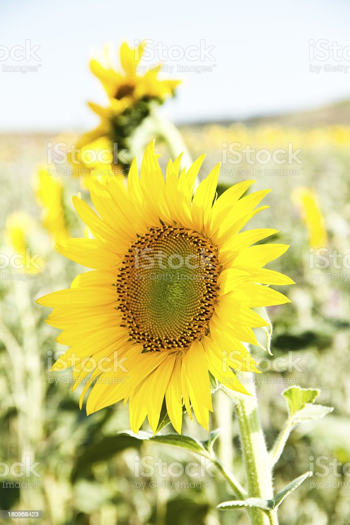 Sunflower in nature royalty-free stock photo