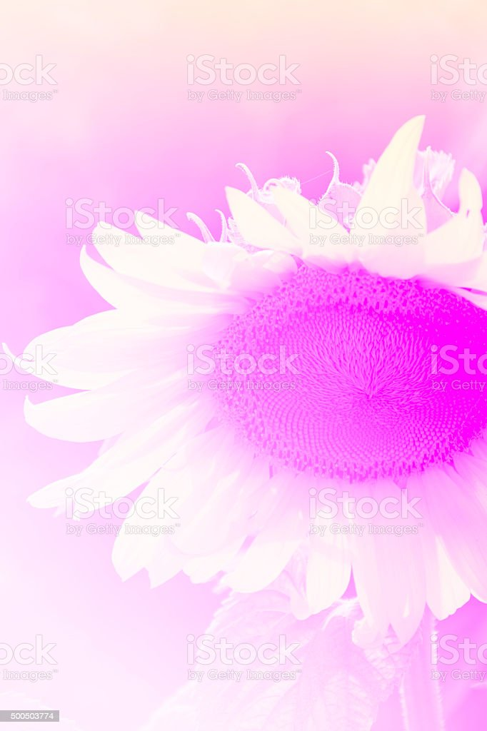 Sunflower in pink panel royalty-free stock photo
