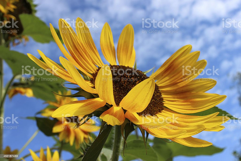Sunflower in summer royalty-free stock photo