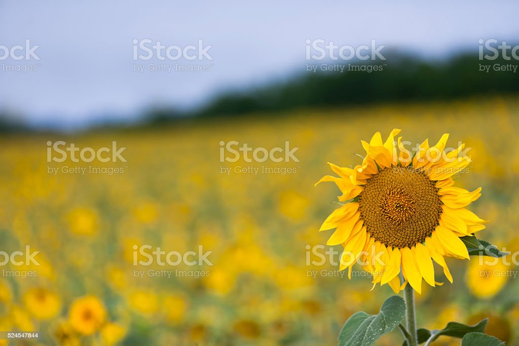 Sunflower in the Field stock photo