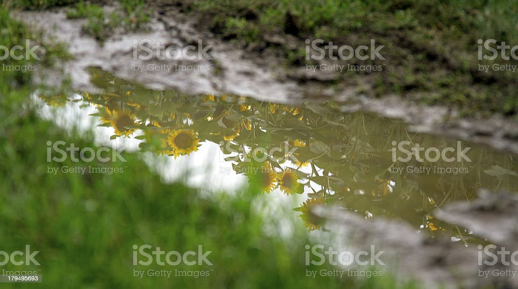 Sunflower in the puddle royalty-free stock photo