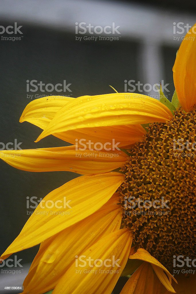 Sunflower in the rain stock photo