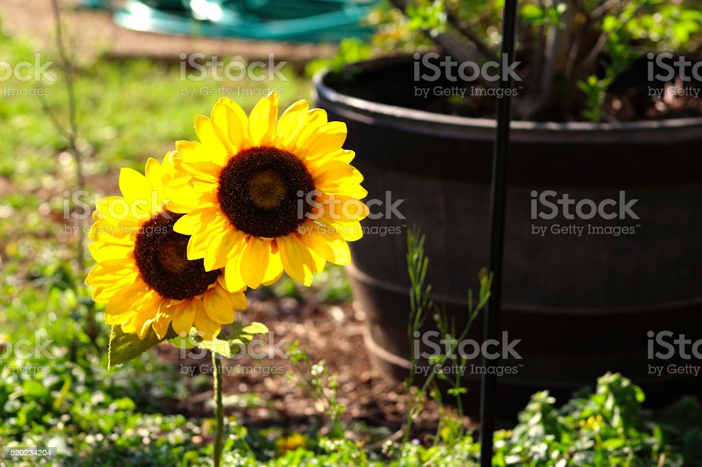 Sunflower in the Summer royalty-free stock photo