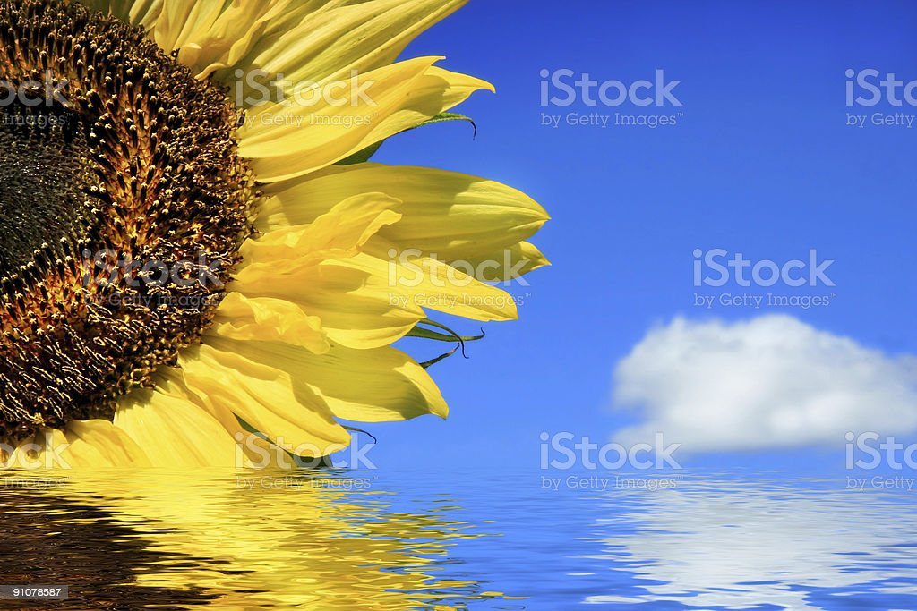 Sunflower in water stock photo