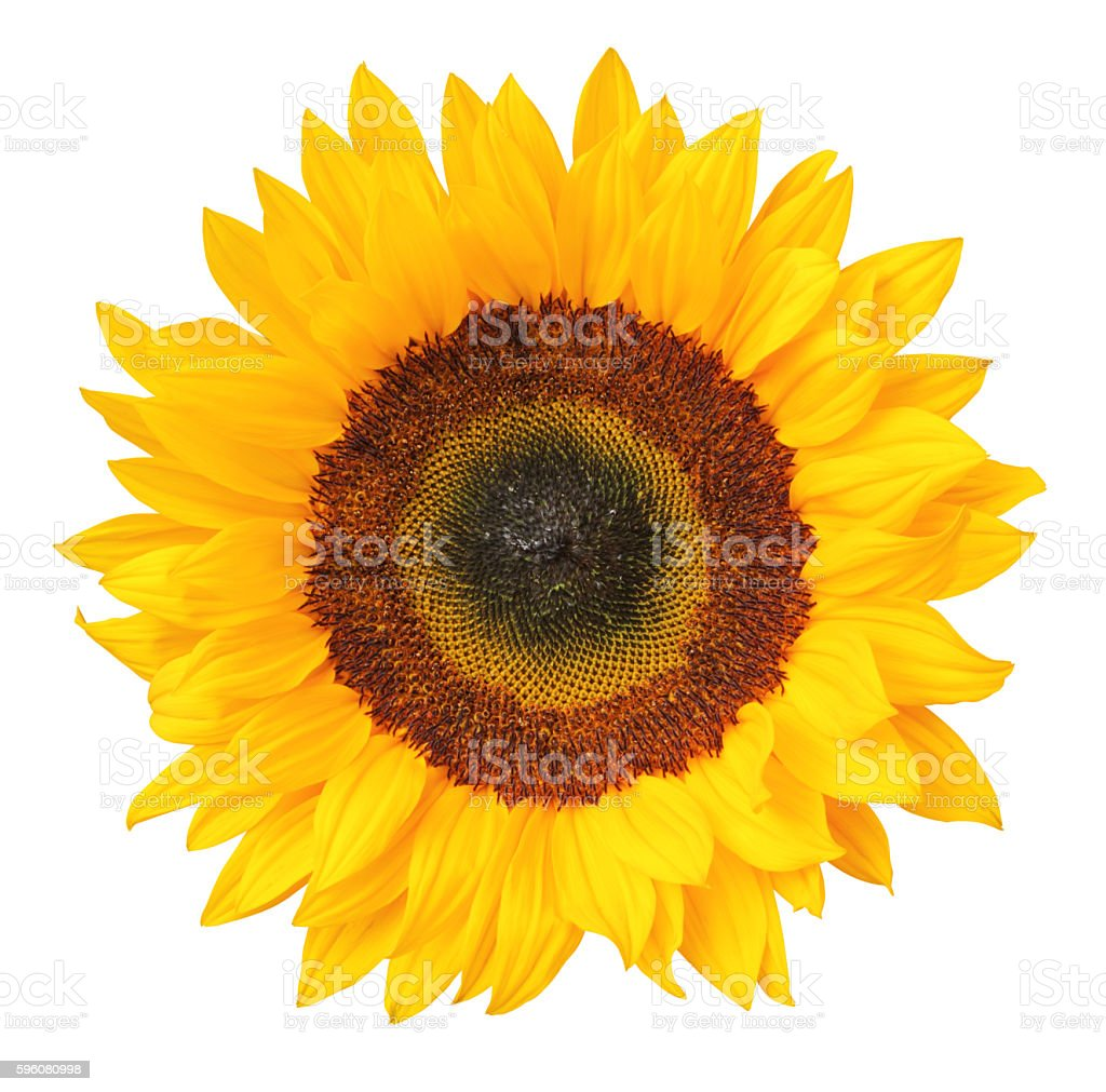 Sunflower isolated - inclusive clipping path stock photo