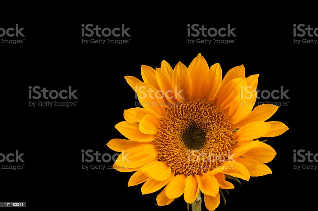 Sunflower Isolated on Black, Flower, Petals, Vivid Color royalty-free stock photo