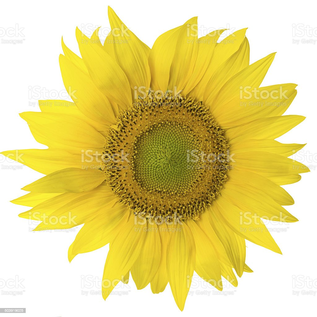 sunflower isolated on pure white royalty-free stock photo