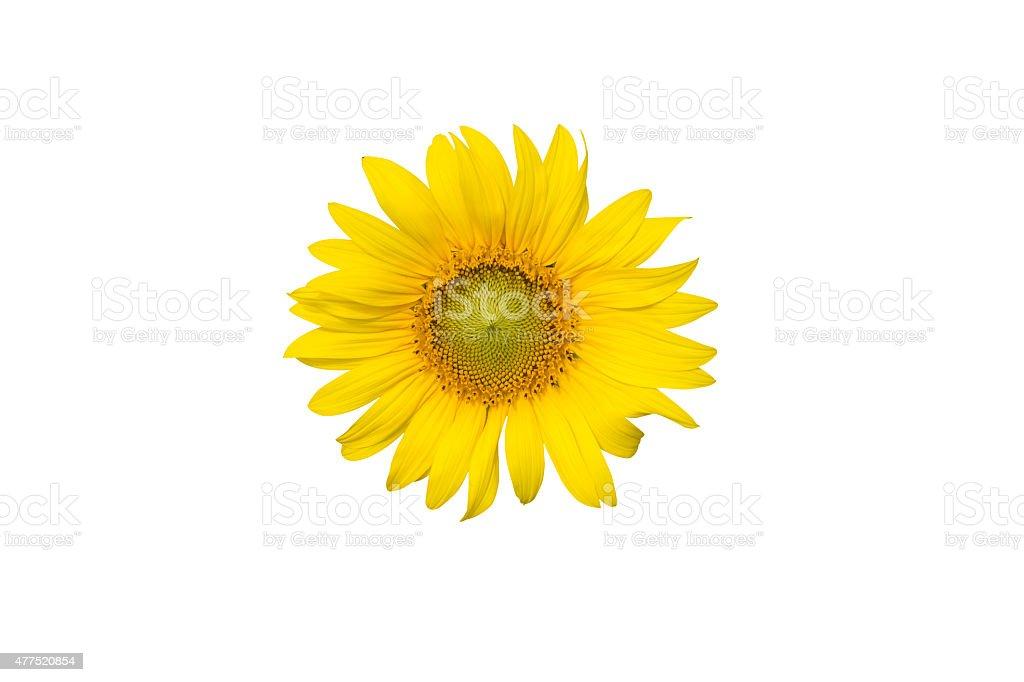 Sunflower isolated on white background stock photo