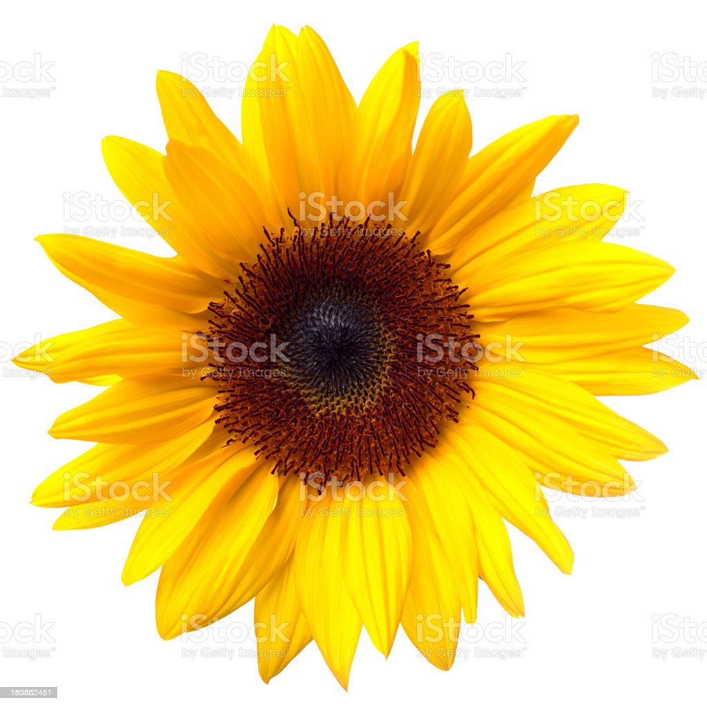 Sunflower Isolated on White + Clipping Path stock photo
