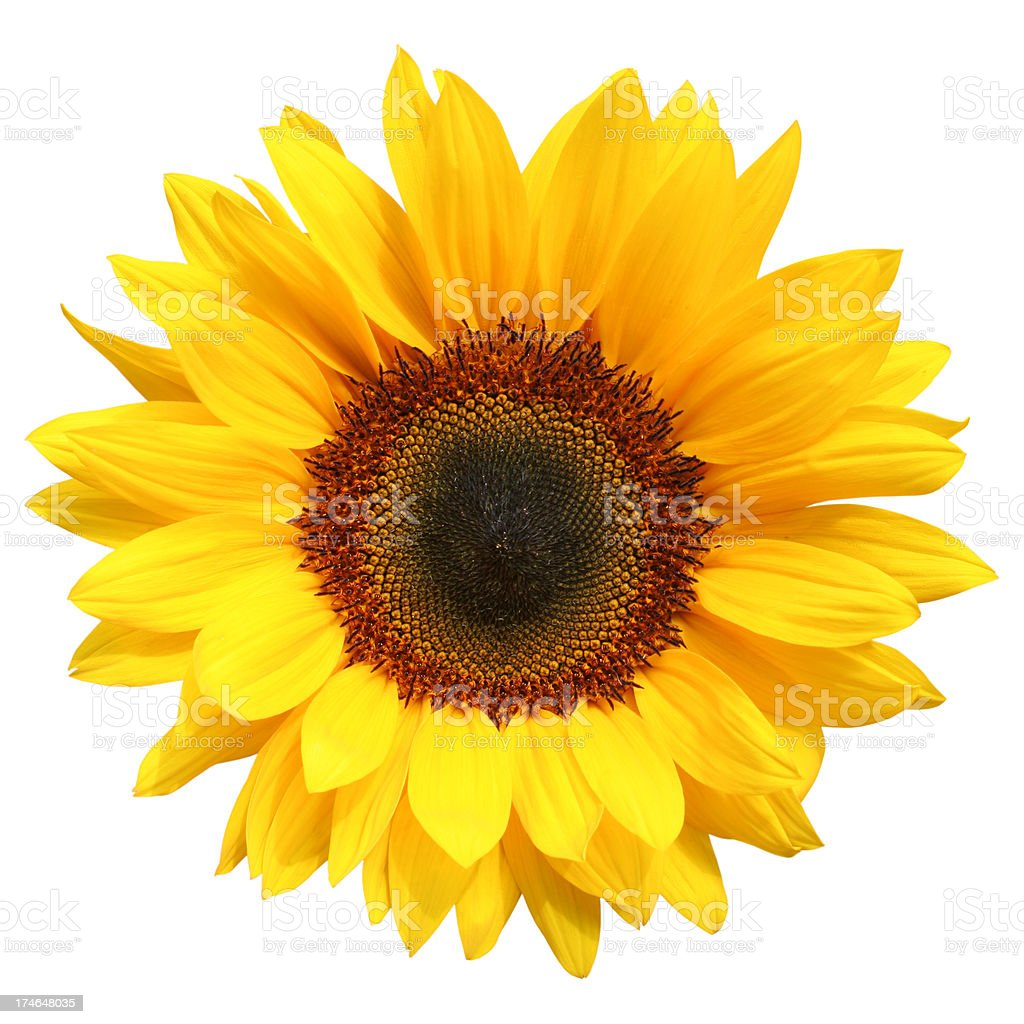 Sunflower Isolated royalty-free stock photo