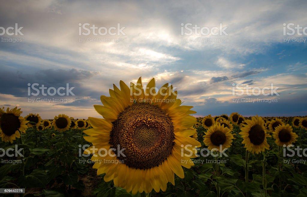 Sunflower Love stock photo