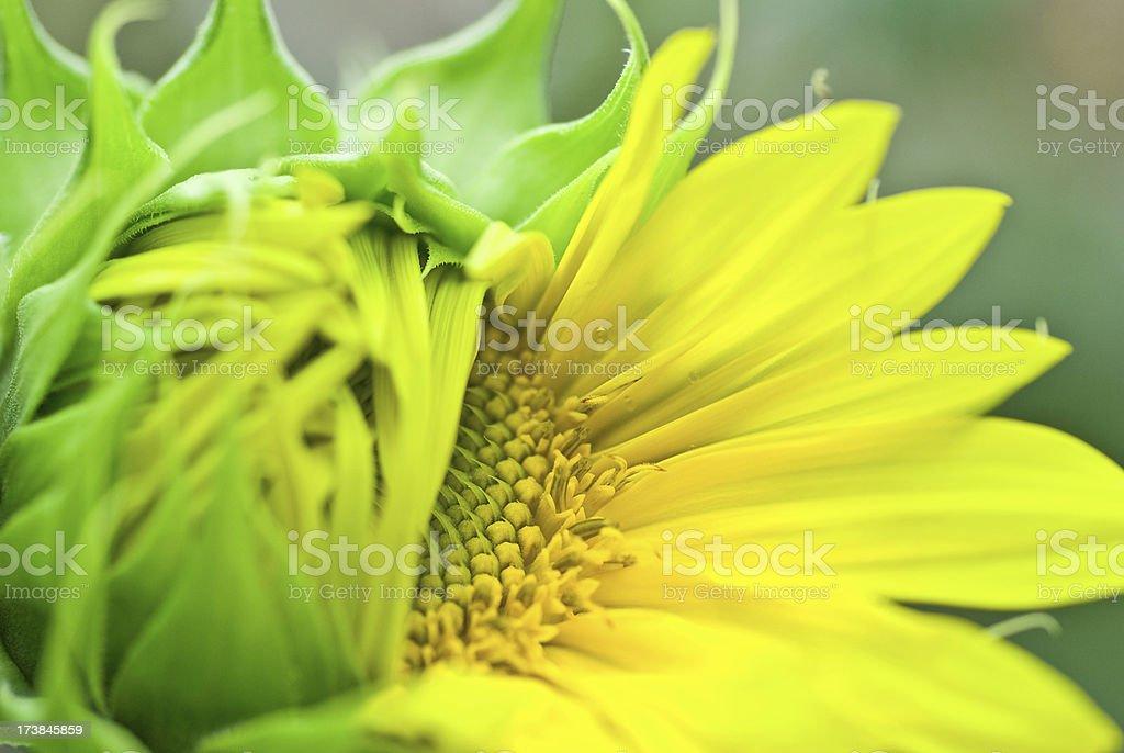 Sunflower Macro stock photo