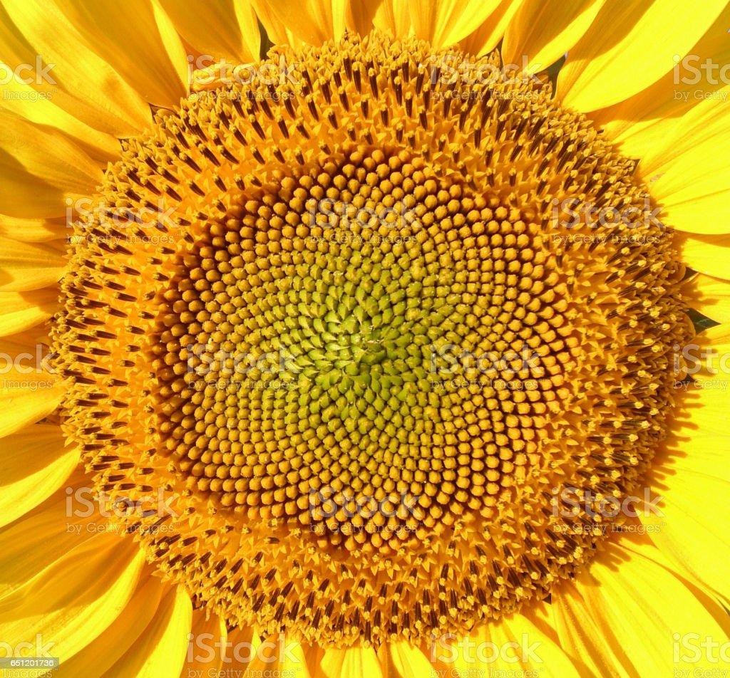 Sunflower macro shot stock photo