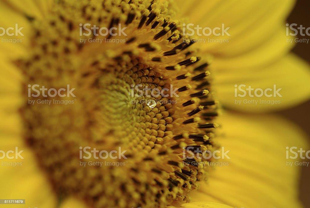 Sunflower Morning Dew Closeup    - Stock Image stock photo