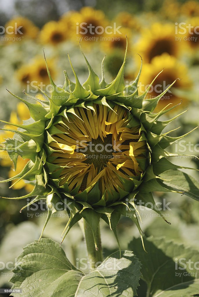 Sunflower not blooming stock photo