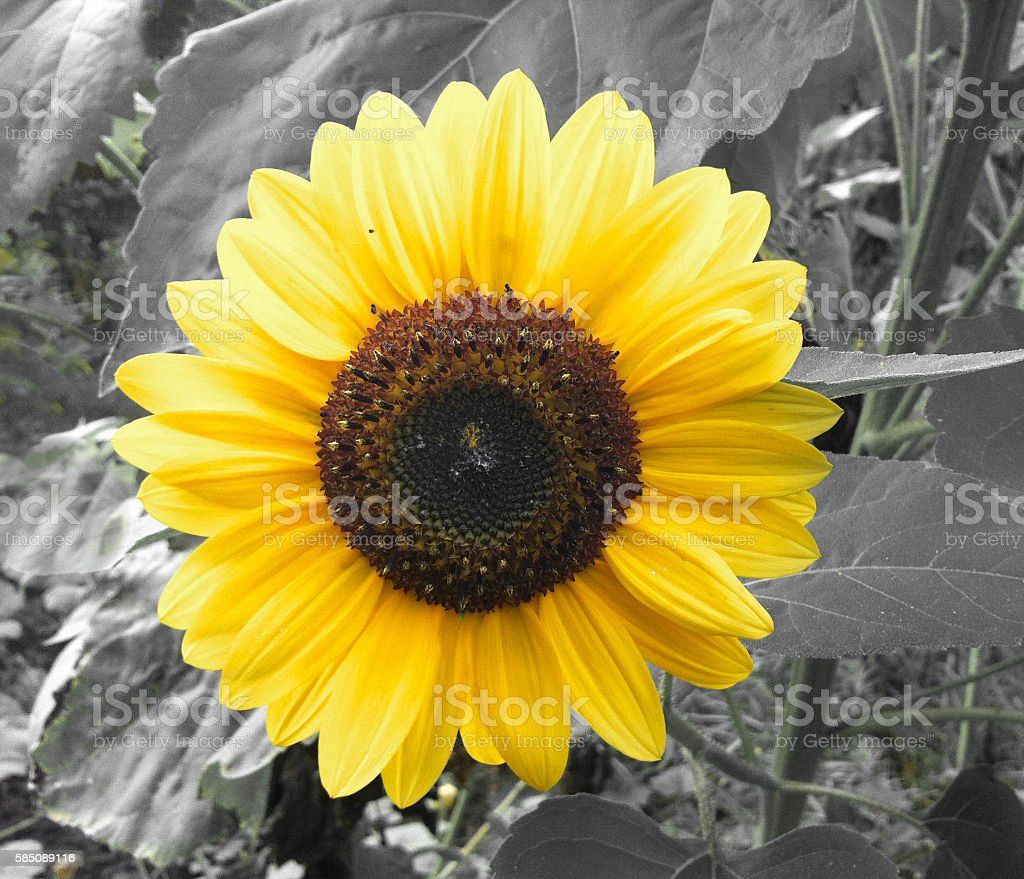 sunflower on a background stock photo