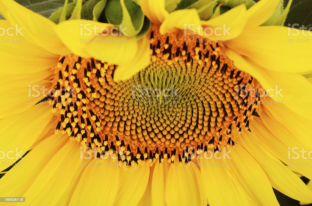 sunflower on a full background at an angle from below royalty-free stock photo