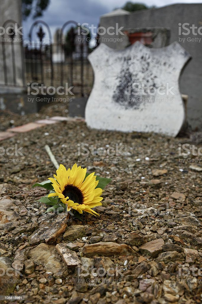 Sunflower on a grave stock photo