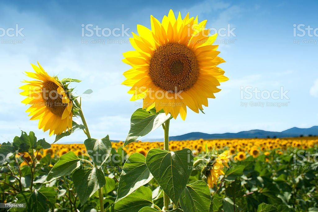 Sunflower on a sunny day stock photo